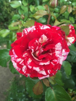 One of many unique roses at International Rose Test Garden